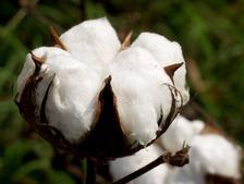fleur-et-graine-de-coton-